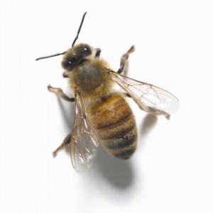 пчели, отрова