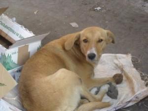 бездомни кучета, смърт, нахапване