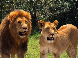 lavove